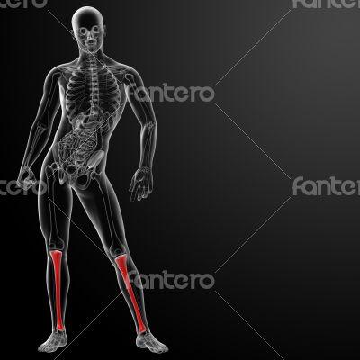 3d render human tibia