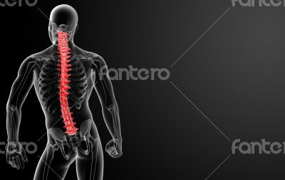 3d render Human Spine Anatomy