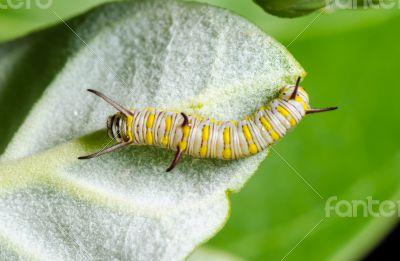 Caterpillar on a Calotropis
