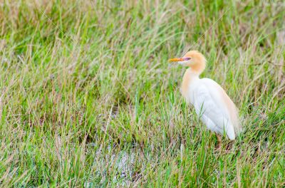 Cattle Egret birds
