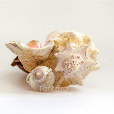 Sea cockleshells of various form