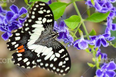 Papilio demoleus black and white spots butterfly