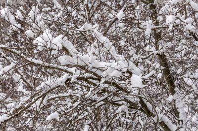 The tree branches covered with snow after a blizzard