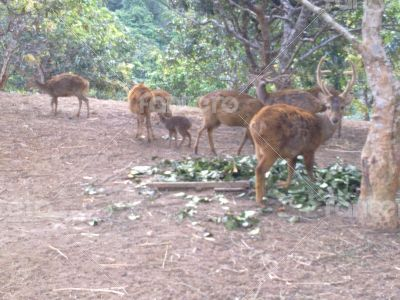 Bawean deer, the only kind in the world