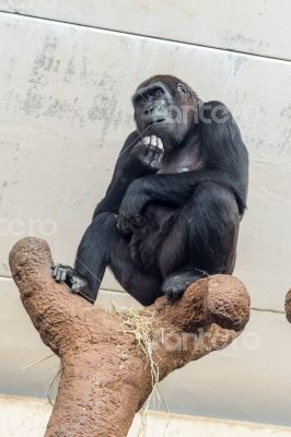 The thinking chimp