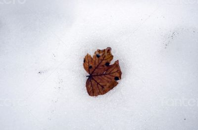 Close up of pale beech leaf in melting snow