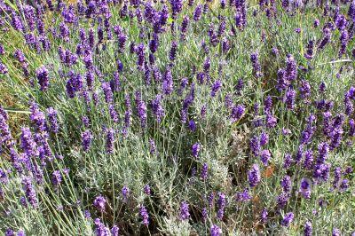 Field of lavender