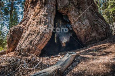 big Sequoia root
