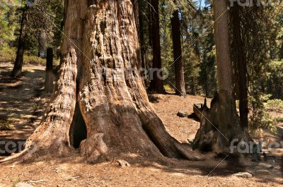tall Sequoia  tree