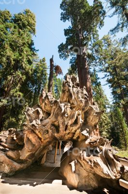 root Sequoia