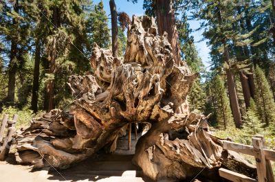 tree root wood  Sequoia