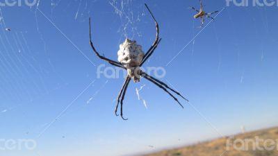 White Spider in Tunisia