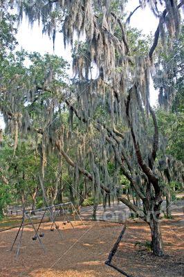 Spanish Tree Moss