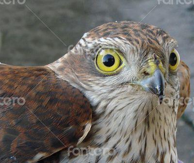 Wild Bird yeys