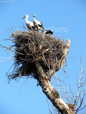 storks couple in nest on blue sky background