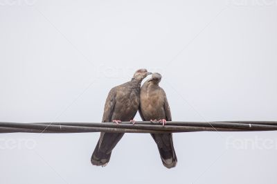 Two Dusky Turtle Doves in Love
