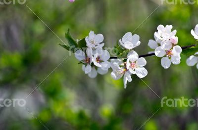 Spring blooming flowers branch