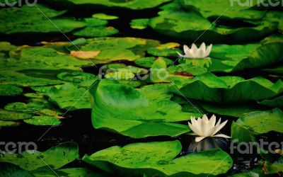 Waterlily in lake of the woods