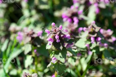 flower of prunella vulgaris