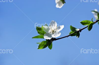 Cherry blossom closeup over natural background