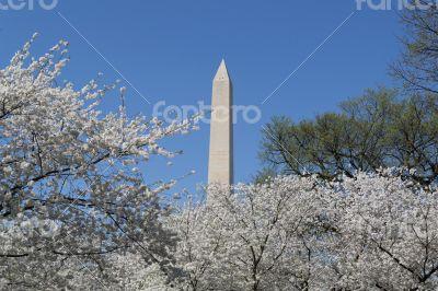 Washington Memorial and cherry blossoms
