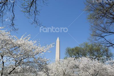 Cherry blosoms by the Washington Memorial