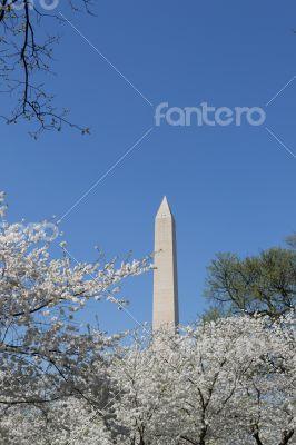 Washington Memorial with white flowers