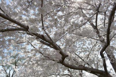 White flowery sky