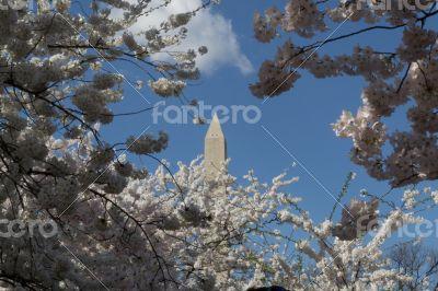 Washington Memorial and cherry trees
