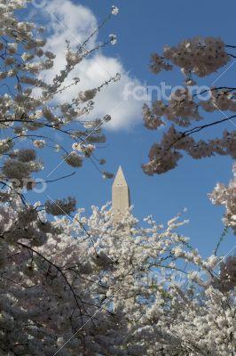 Washington Memorial between pink flowers