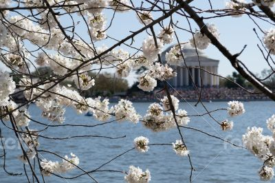 Cherry blossoms covering the Thomas Jefferson Memorial