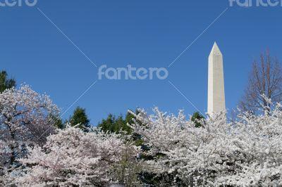 Cherry trees by the Washington Memorial