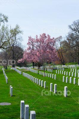 Cherry blossom at the Arlington Cemetery