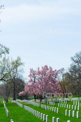 Pink flowers at Arlington Cemetery