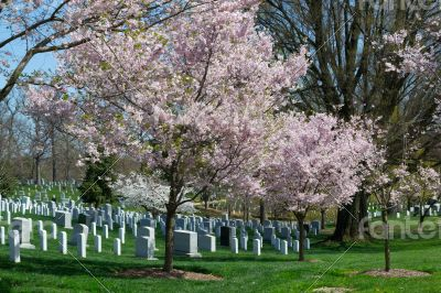 Pink cherry tree at the Arlington Cemetery