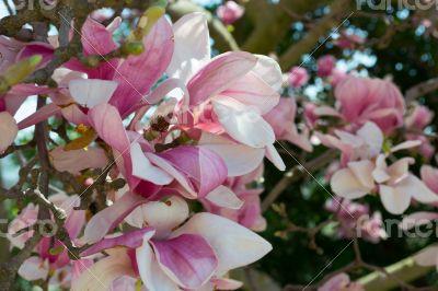 Pink tulip tree flower
