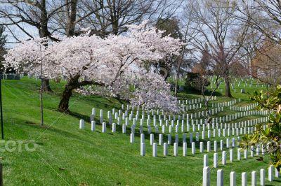 Sakura tree at the Arlington Cemetery