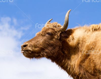 Brown Yak in the mountains against the blue sky