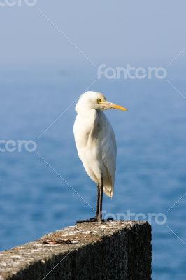Igret bird against blue Arabian sea