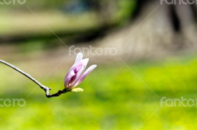 Beautiful Flowers of a Magnolia Tree