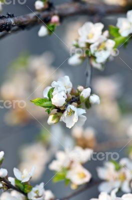 Apple  blossom closeup over natural background
