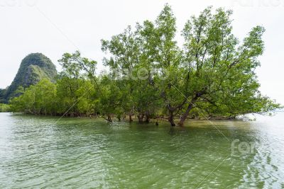 Avicennia officinalis is a species of mangrove