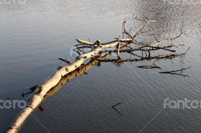 Floating birch