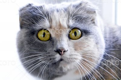 Color cat with yellow eyes