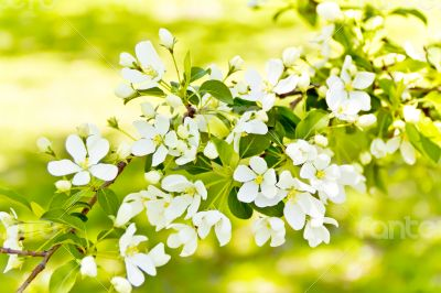 Green branch with white apple flowers
