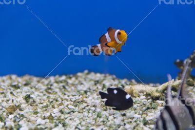 Clown fish and dascyllus trimaculatus domino