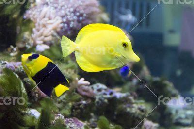 Angel fish and zebrasoma in aquarium