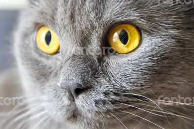 Cat portrait with yellow eyes