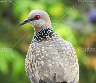 confused common-Indian-dove