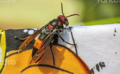 Giant wasp on cloth